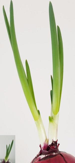 这是洋葱的姿态,同根扎在天山下